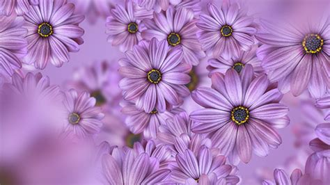 purple daisy flowers background   vf videohive