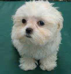 bichon maltese mix puppies kootationcom picture breeds picture