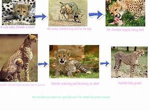 Stages Jaguar Life Cycle Diagram