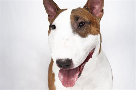 wire fox terrier shedding bull terrier breed information kennel