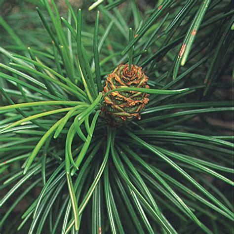 Japanese Umbrella Pine Finegardening