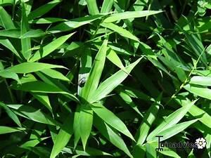 Acheter Des Plantes : pleioblastus pygmaeus 39 distichus 39 gramin es acheter des plantes en ligne ~ Melissatoandfro.com Idées de Décoration