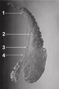 Corrosive Cast Of Bull Testis Arterial Vessels  1