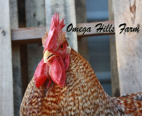 Bielefelder Chickens And Hatching Eggs For Sale