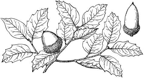 branch  canyon  oak clipart