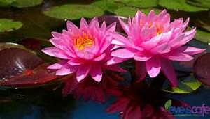 9 Amazing Benefits Of Lotus EvesCafe