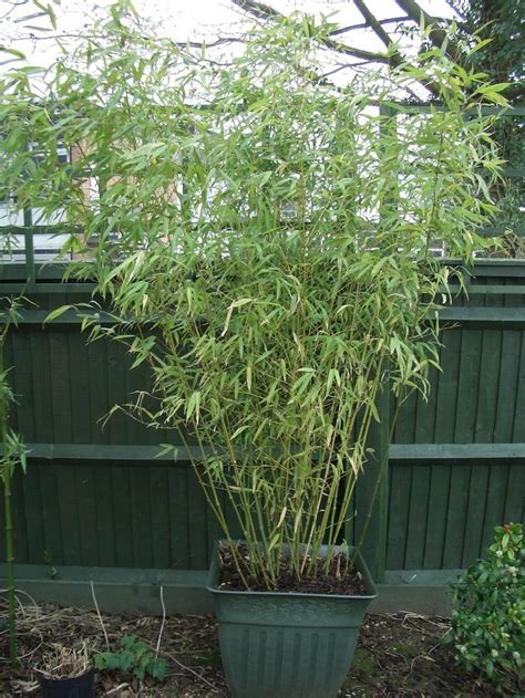 bamboo in container bamboo