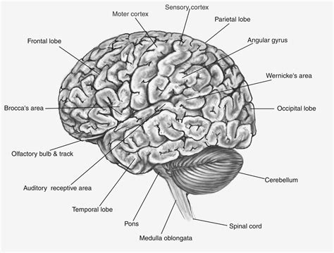 Label Brain Diagram by 15 Reasons Why Label Maker Ideas Information