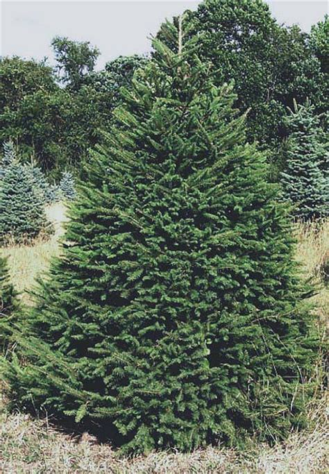 spruce trees norway spruce trees christmas trees cackler farms