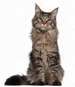 Weißer Wurm Katze : maine coon katze 7 monate alt sitzt vor wei er hintergrund stockfoto lifeonwhite 10900472 ~ Markanthonyermac.com Haus und Dekorationen