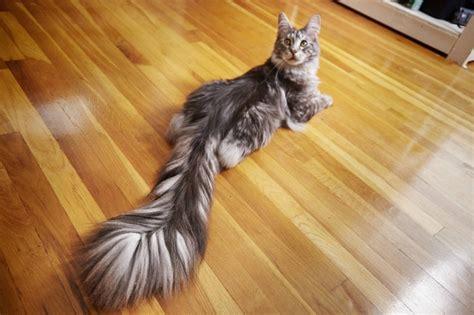 gato americano bate recorde  maior rabo  mundo