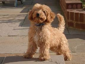 cockapoo adult google search make the cuteness stop