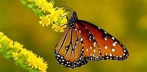 Alas de la mariposa monarca :: Imágenes y fotos