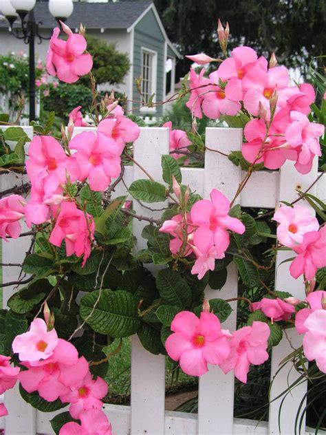 flowering vine help your mandevilla through the cold hgtv