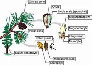 Chapter 30  Plant Diversity Ii  The Evolution Of Seed Plants