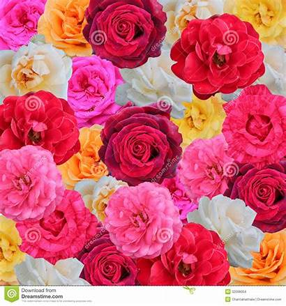 Roses Background Pink Orange Floral Yellow