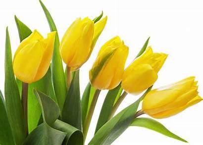 Tulip Tulips Transparent Yellow Flowers Jaunes Tulipes