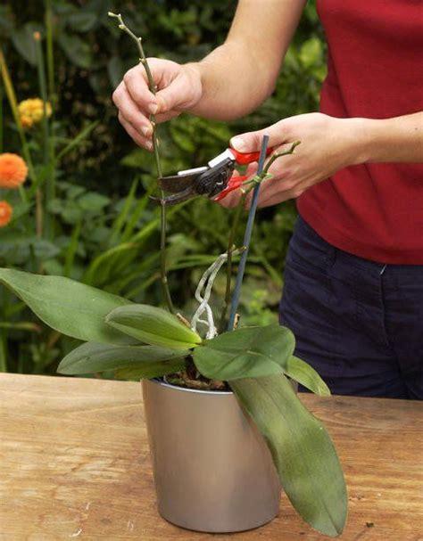 orchideen schneiden die 5 goldenen regeln der orchideenpflege garten pflanzen orchideen orchideen