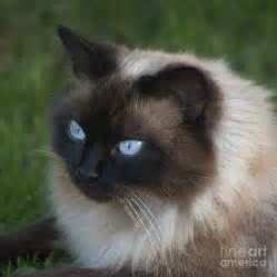 ragdoll cat for ragdoll cat jan 01 2013 17 12 43 picture gallery