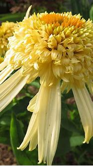 Secret™ Joy Echinacea Plants for Sale (Coneflower)   Free ...
