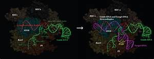 Dna Binding And Cleavage