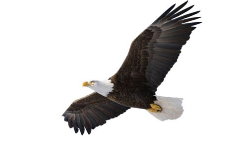 kite bird clipart    clipartmag