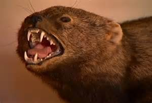 beware of fisher cats the southerner s guide to new