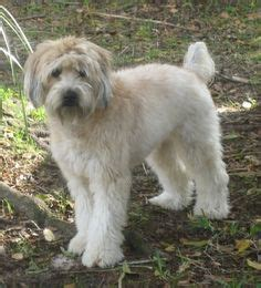 wheaten terriers do they shed soft coated wheaten terrier breed information