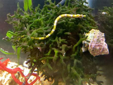Tiny Dwarf Pipefish. The Perfect Tank Mate For The Dwarf