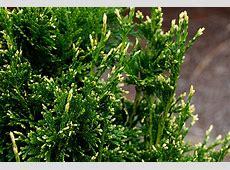 Thuja plicata 'Can Can' Landscape Plants Oregon State