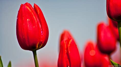 wallpaper bunga tulip merah deloiz wallpaper