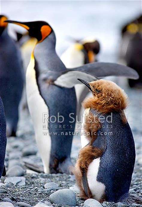 king penguin chick moulting fluffy brown