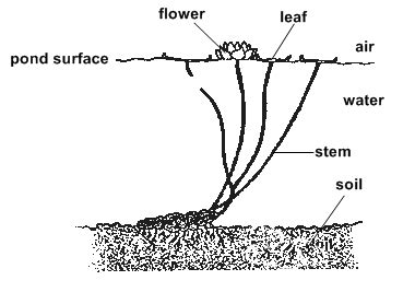 Diagram Of Water Flower by Plants Water Lilies The Importance Of Plantsby Irene Gs