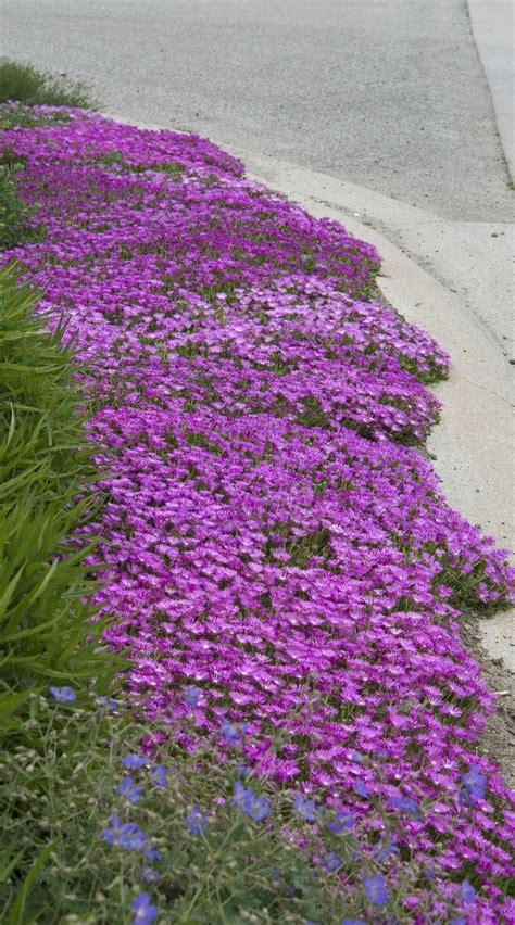 colorful ground cover and drought tolerant plant delosperma is