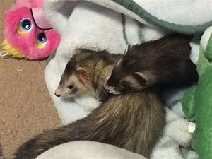 17 Best images about Ferrets on Pinterest | Action, Jersey ...
