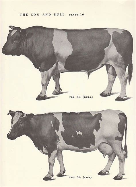 Vintage Cow And Bull Side View Illustration Book Page 8