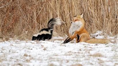 Winter Funny Animals Nature Skunk Fox Windows
