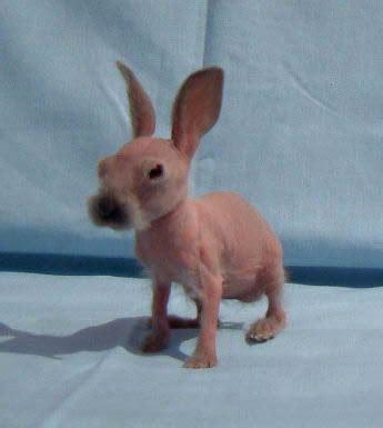 treasure   life  hairless pets