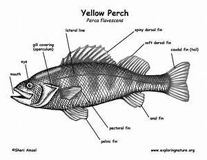 Perch  Yellow