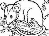 Possum Tree Coloring Opossum Branch Clip Sitting Drawing Printable Template Sketch Getdrawings Clipartmag sketch template