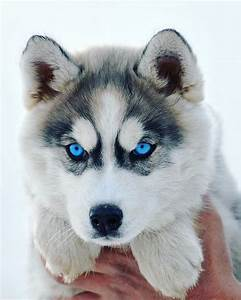 ~ GORGEOUS HUSKY, BEAUTIFUL MARKINGS & EYES, OF COURSE ...