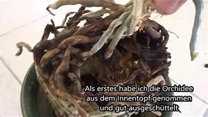 Orchideen Umtopfen Video : orchidee mit ableger umtopfen youtube ~ Watch28wear.com Haus und Dekorationen