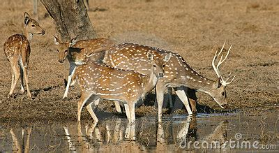 spotted deer herd drinking stock images image