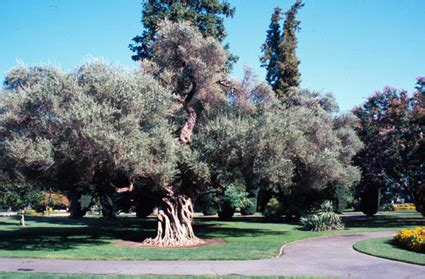 olive trees california olive trees olea europaea fruit crops