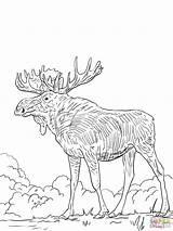 Coloring Elk Pages Printable Eurasia Head Moose Template Bull Drawing Popular Sketch Games Categories sketch template