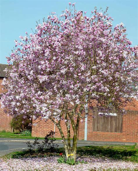 magnoloa tree leonard messel fables and flora