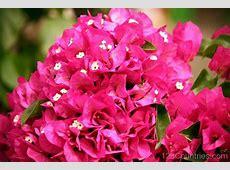 National Flower Of Grenada Bougainvilleas 123Countriescom