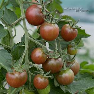 Tomate Noir De Crimée : les plants de tomates bio le potager bio ~ Dailycaller-alerts.com Idées de Décoration