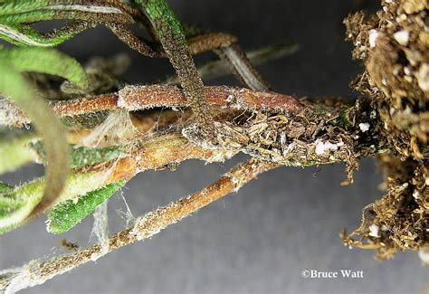 rosemary plant pests rosemary botrytis signs symptoms umaine cooperative extension insect pests ticks and