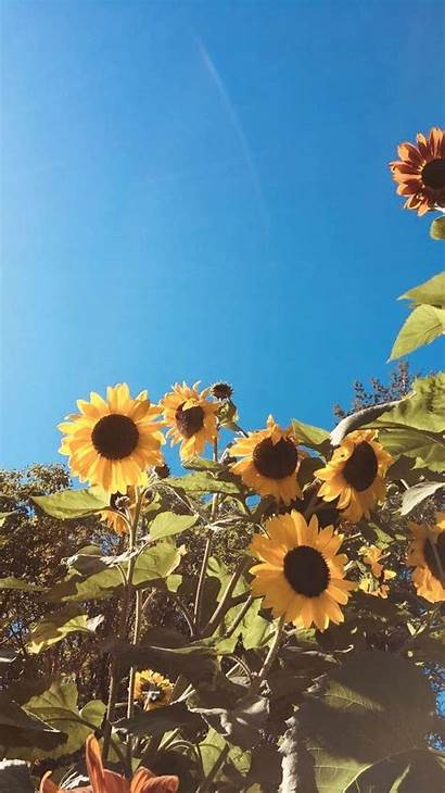 Aesthetic Sunflower Wallpapers Wattpad Backgrounds Background Lams